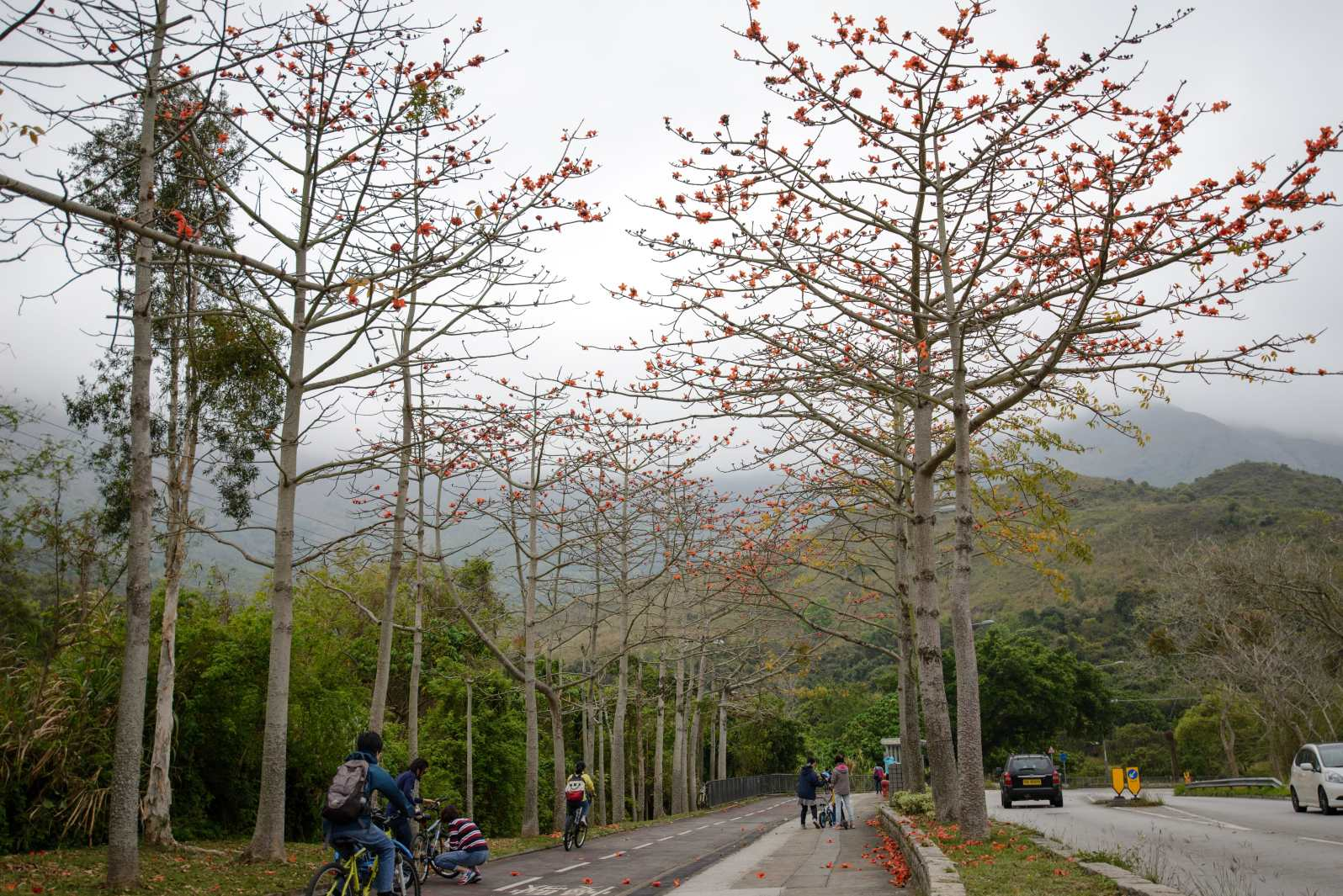 Cotton Tree (Bombax Ceiba) with flaming red flowers along Ting Kok Road