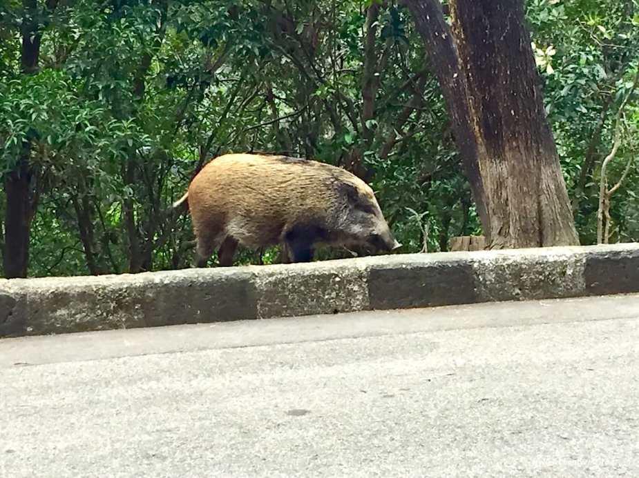 野豬 Wild Boar
